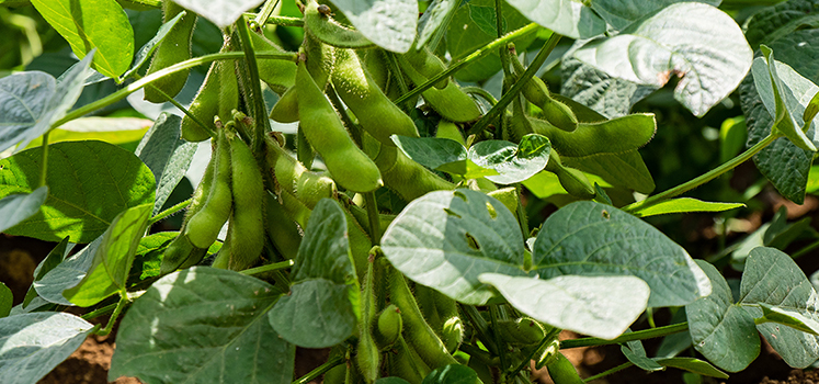 Soy beans in cultivation
